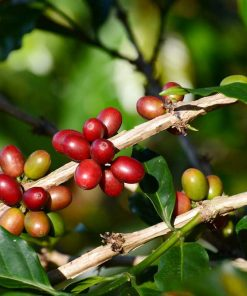 Lintong-Arabica-Coffee