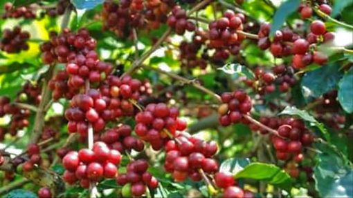 Mandheling best coffee beans