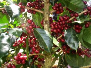 Wine Arabica Gayo Coffee