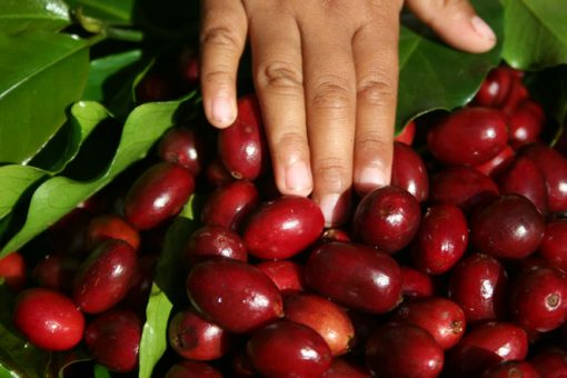 gayo peaberry coffee grean beans