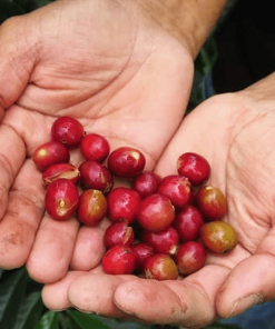 raw coffee bean supplier