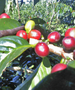 supplier of coffee beans