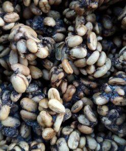 Gayo civet coffee beans