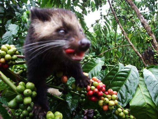 Gayo luwak coffee bean