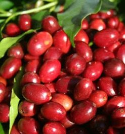 LONGBERRY arabica coffee beans