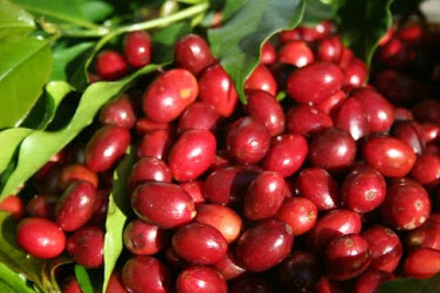 LONGBERRY arabica coffee beans