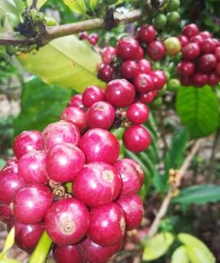 Lampung Robusta Coffee Green Beans