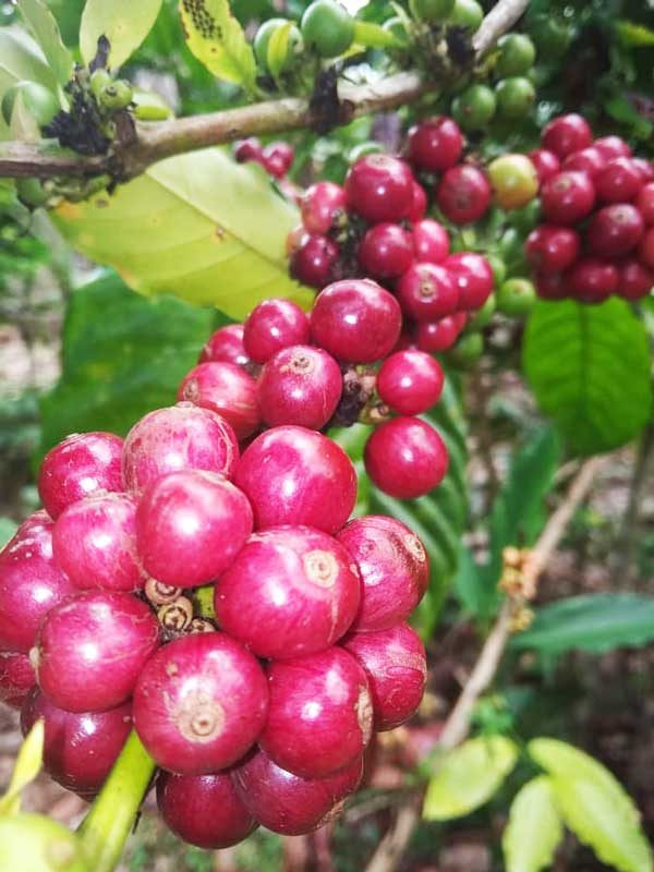 Lampung Robusta Coffee Green Beans