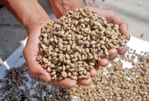 Lampung Robusta Coffees Beans