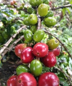 Natural gayo coffee green beans