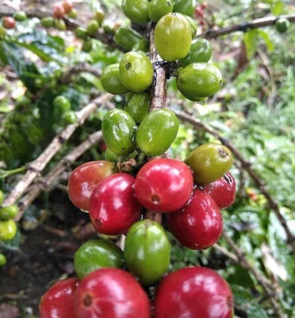 Natural gayo coffee green beans