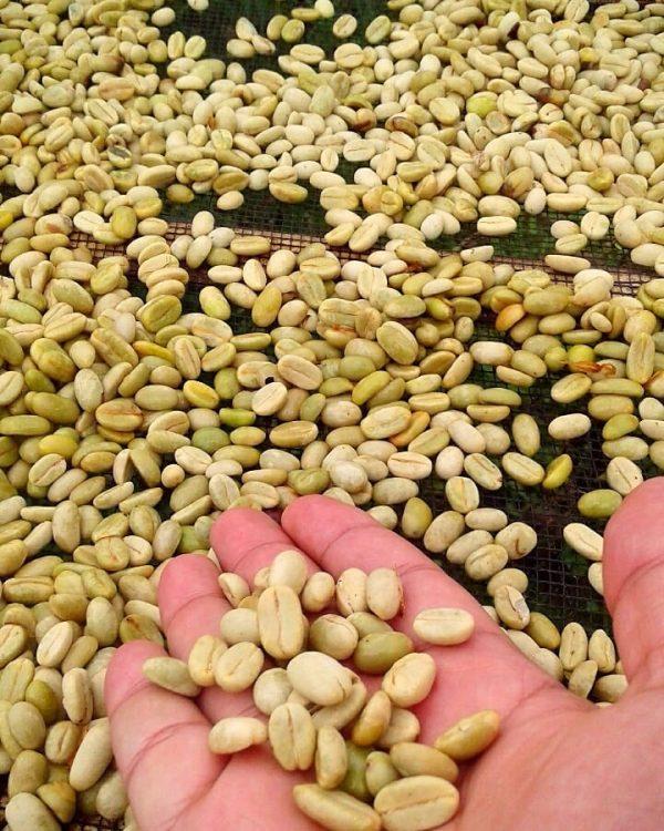 full washed gayo arabica bean