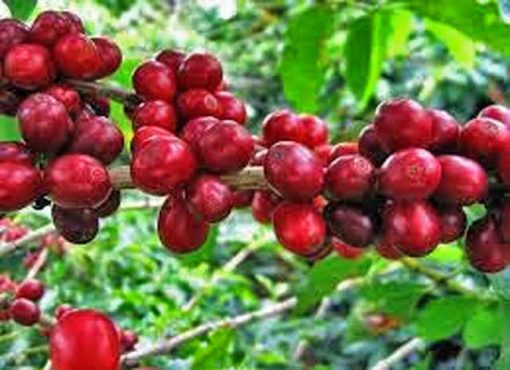 Java dampit Coffee Bean