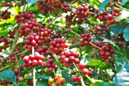 Java robusta unroasted coffee green beans