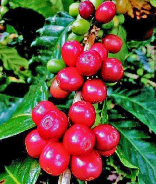java unroasted arabica coffee-bean