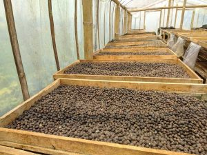 Gayo arabica coffee - natural dry process