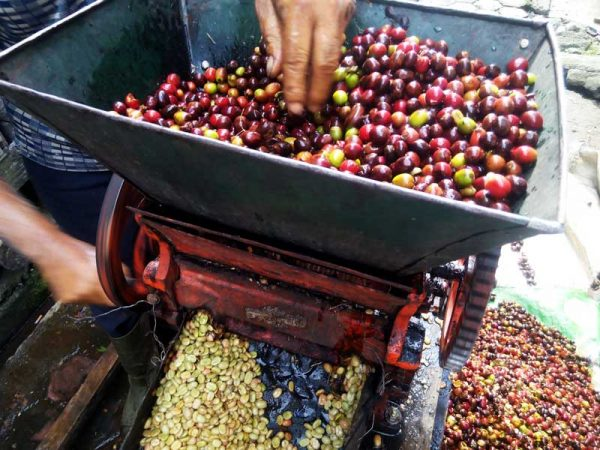 semi wash processing of gayo arabica coffee beans