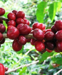 Sidikalang robusta coffee grean bean