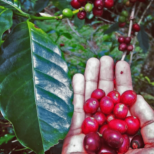Specialty coffee wholesale