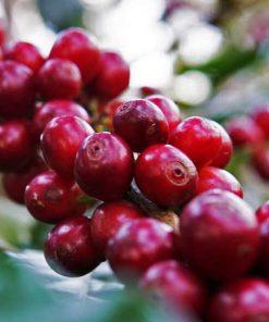 specialty flores bajawa arabica coffee beans
