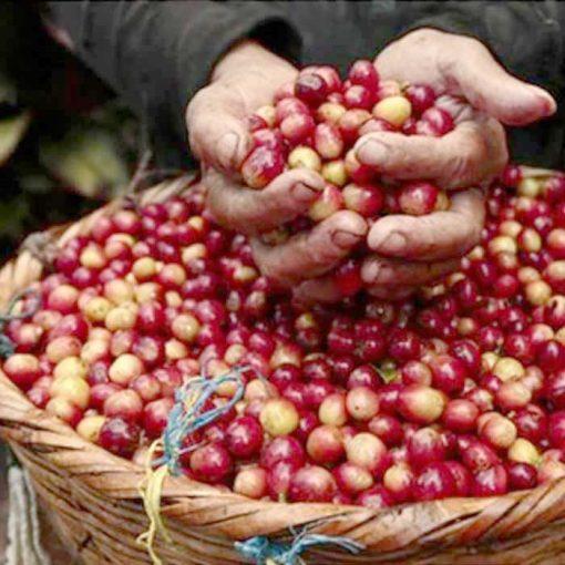 toraja arabica coffee green beans