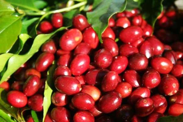 arabica coffee cherry